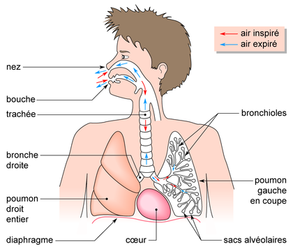 recherche sur la respiration chez l homme