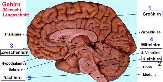 primäre sensorische cortex