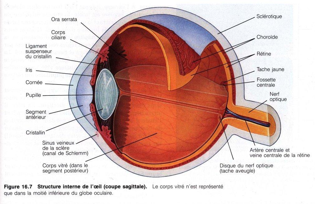 Pr sentation de l 39 oeil humain - Couche du globe oculaire ...